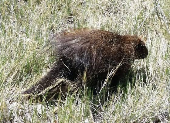 Porcupine walking along