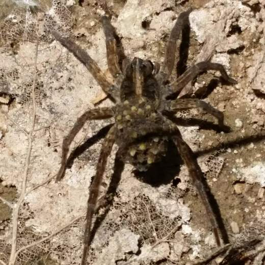 Female wolf spider carrying her many babies