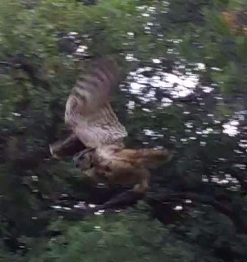Great horned owl flying off