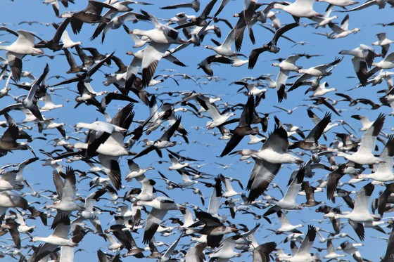 snow geese at fremont hundreds of thousands all this week