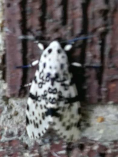 A moth outside a house in penn hills