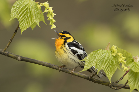 Blackburnian warbler Singing into the mic