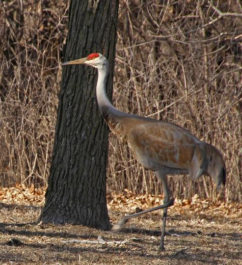 On this somewhat warm day in spring, a couple of Sandhill cranes visited my backyard.