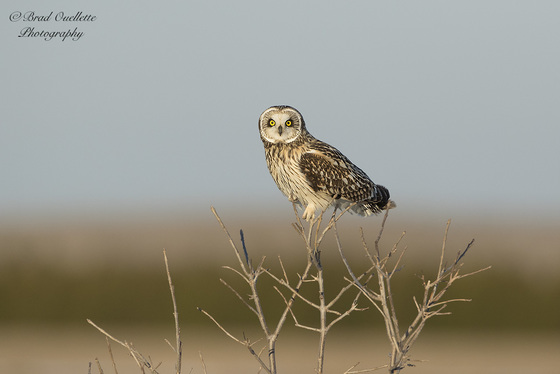Short -eared Owl