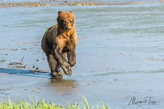 Grizzly cub running