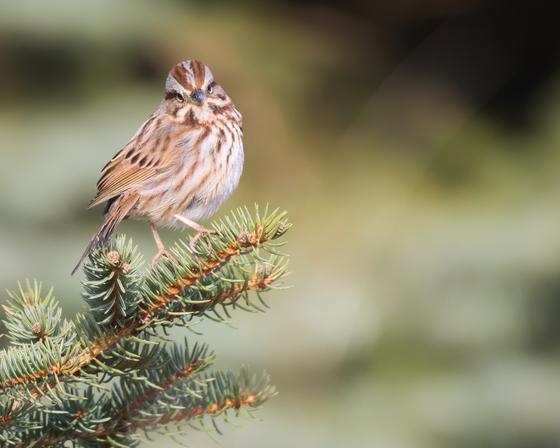 RG_421 | Sparrow