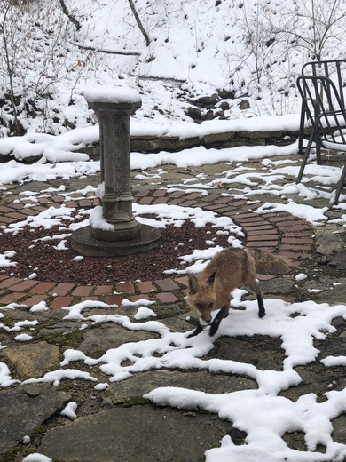 Baby Foxes Enjoing Second Winter