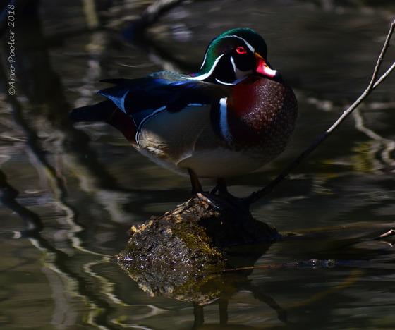 Male Wood Ducks