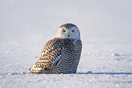 Sitting Snowy Owl
