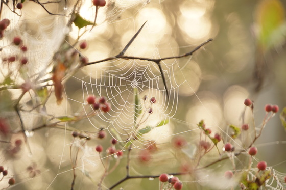 Dewy Spiders web
