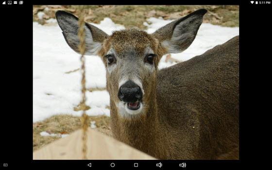 Female deer visitor