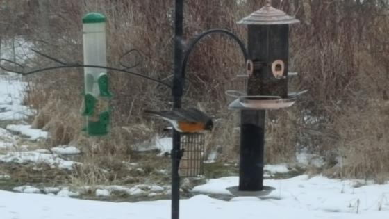 Robin at suet feeder