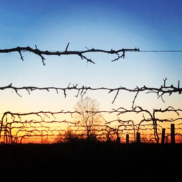 Daybreak over the vineyards in Hindsville this morning.