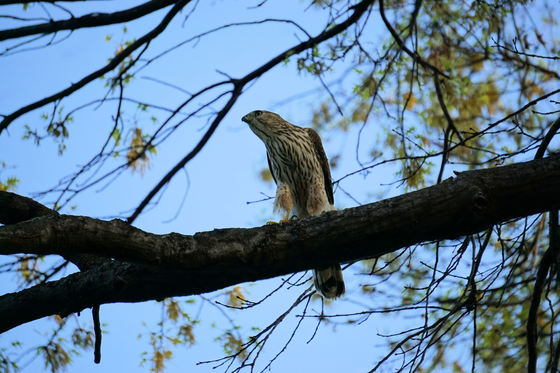 Hawk in the backyard looking for nesting material