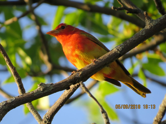 This is a first-year male Summer Tanager