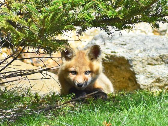 Fox Kits.