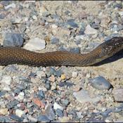 Young water snake, Elliot lake.