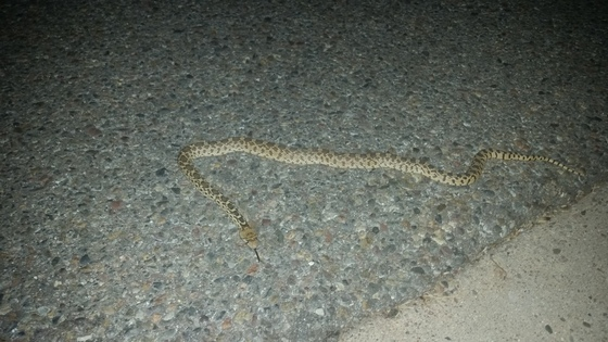 Young bull snake in the road right after sunset