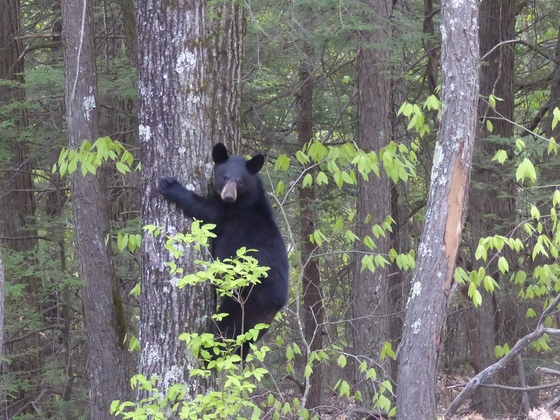 One of three bears visiting Center Harbor.
