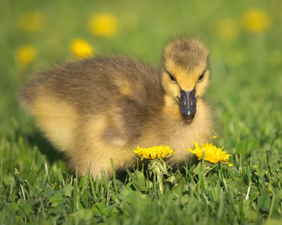 RG_427 | Canadian Geese