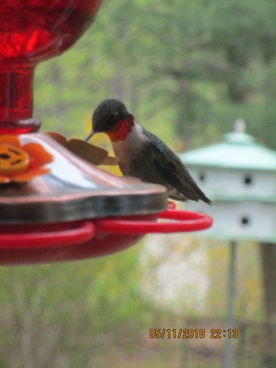 Male Humminbird and Oriole