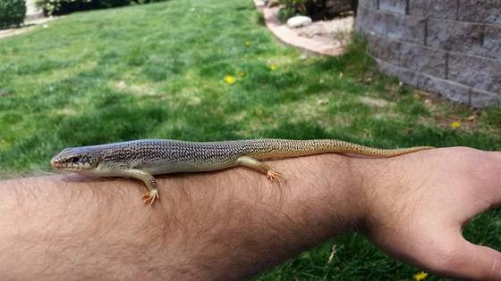 Huge 11 inch great Plains skink that lives in my backyard
