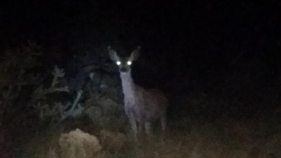 Deer at night