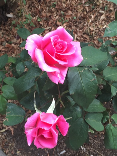 Roses from my back yard