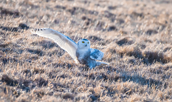 Snow owl dancing