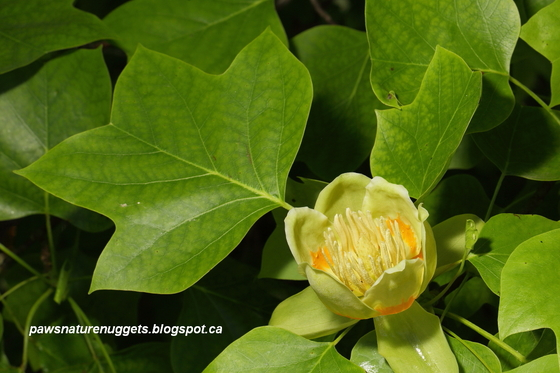 Tuliptree Flower