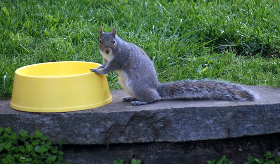 Squirrel trying to get a drink out of the dog's dish