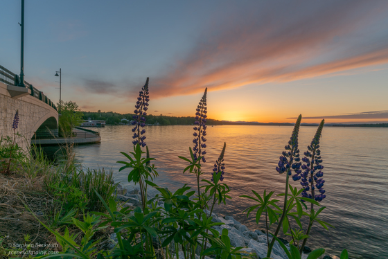 Lupins on the Causeway