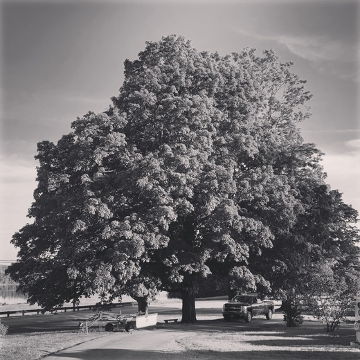 Massive Maple from the 1700's