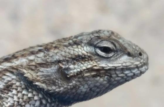 Fence lizard face closeup