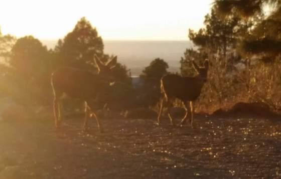 Evening deer