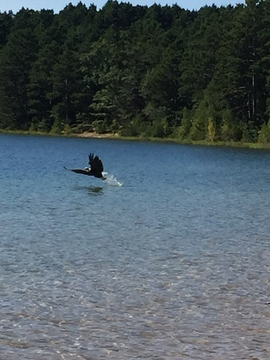 Bald Eagle swoops in for a fish at Crystal Lake