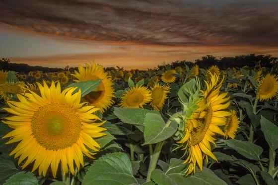 Smokey Sky and Sun Flowers
