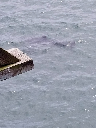 6 foot great white shark taken from the pier at SeaCliff Beach.