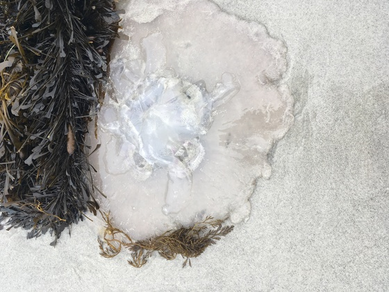 Why are there hundreds of dead jellyfish on Carmel beach this morning?