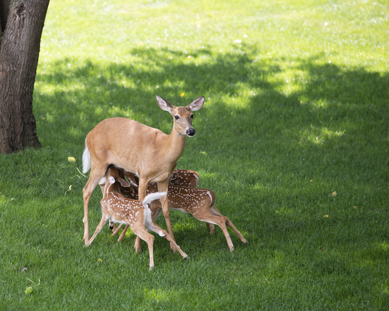 Mama and her sweet triplets in Urbandale.