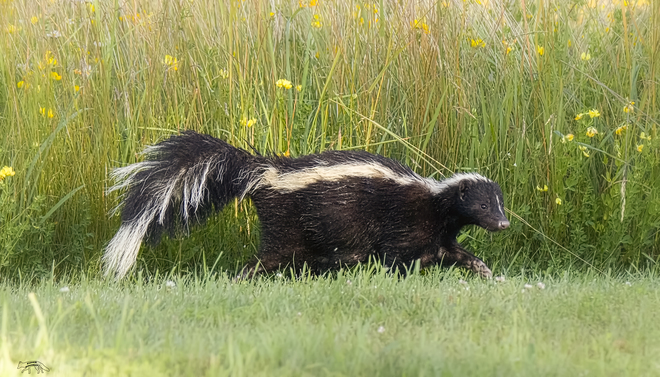 Skunk In Backyard photos - the weather network