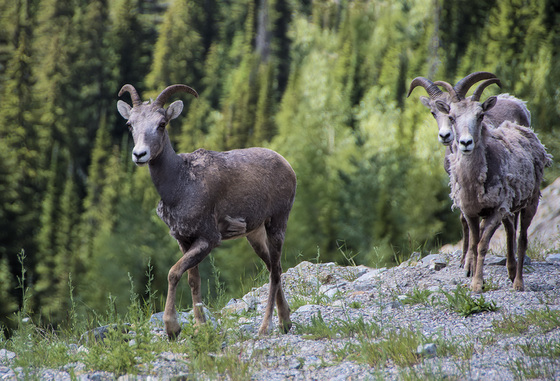 A trio of female mountain sheep