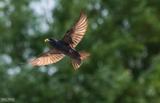 Purple Martin in flight