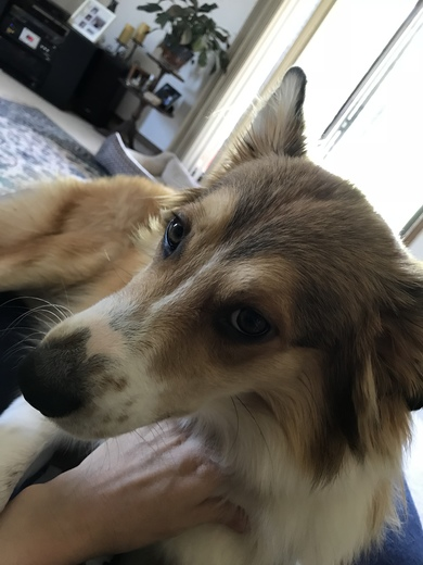 Biscuit 11 month old Australian Shepherd.