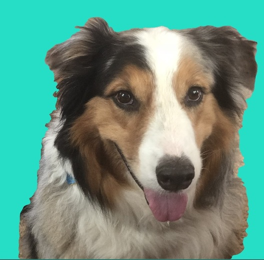 Tiger is a nine year old Australian Shepard who is very smart