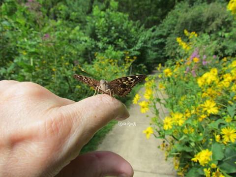 Female Hackberry Butterfly