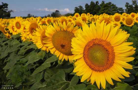 Sunflower Fields Caledon