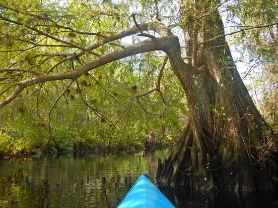Kayaking thru cypress forest