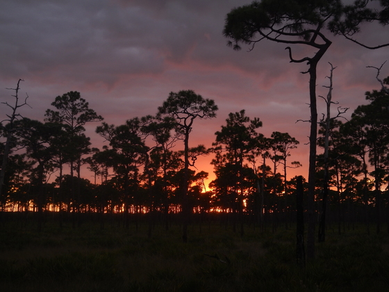 Pine forest sunset