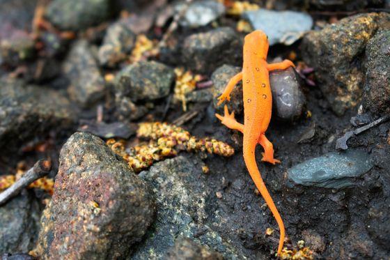 Cute orange newt